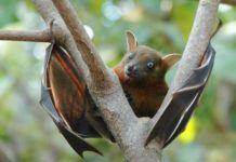 deadly viruses carrier bat